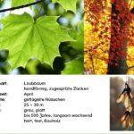 Ahorn - Steckbrief und interessantes Wissen