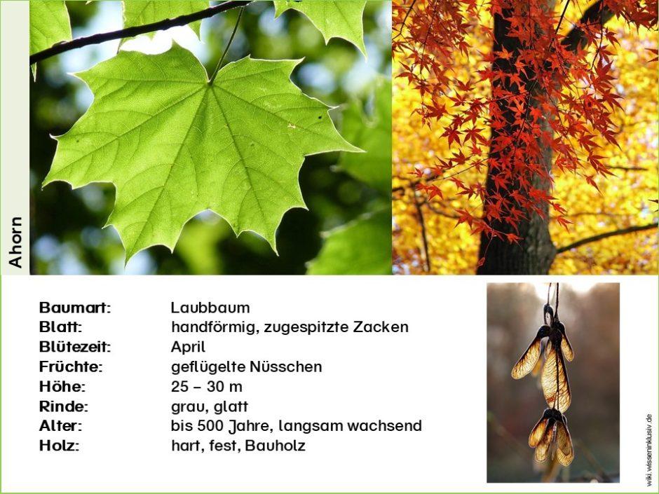 Ahorn-Steckbrief Kurzversion mit Baumart, Blatt, Blütezeit, Früchte, Höhe, Rinde, Alter, Holz