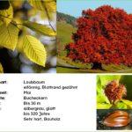 Buche – Steckbrief und interessantes Wissen