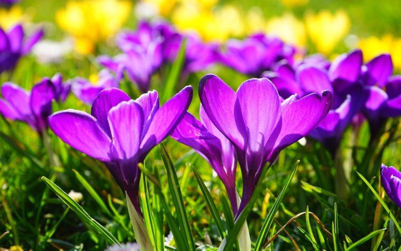 Wiese Crocus lila