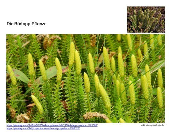 Die Bärlapp-Pflanze