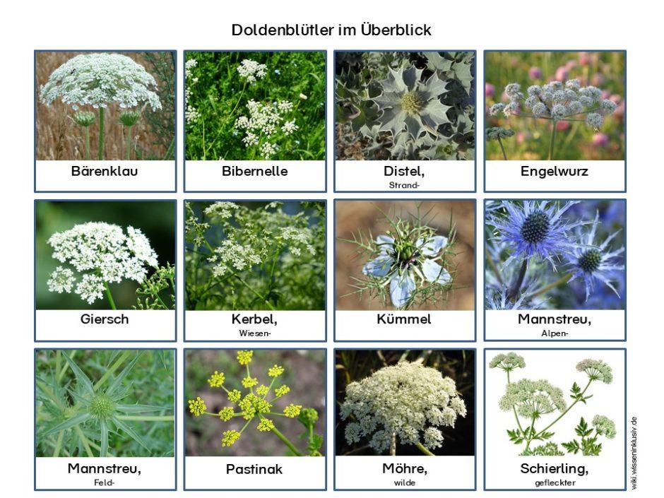Doldenblütler Pflanzen im Überblick, wie z.B. Bärenklau, Bibernelle usw.
