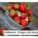 Erdbeeren - Wissenswertes