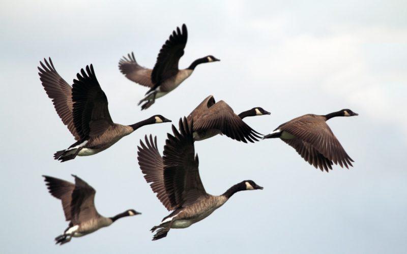 Gänse im Flug für Tierstimmenarchiv