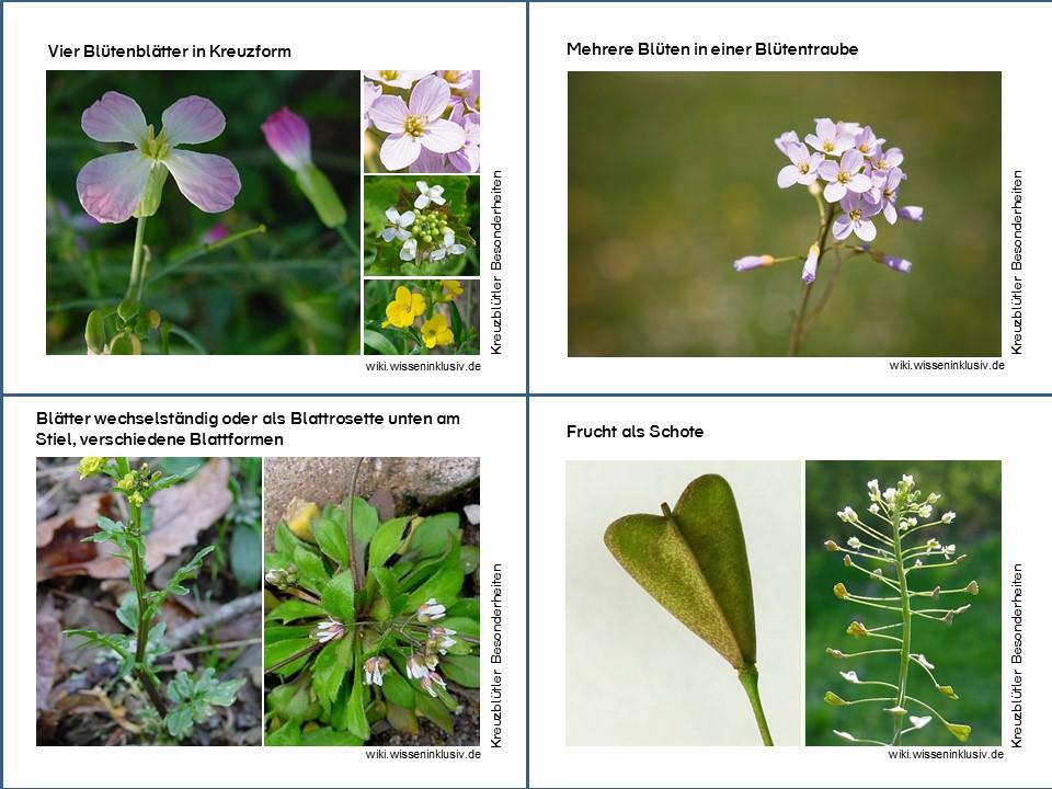 Blütenpflanzen der Kreuzblütler