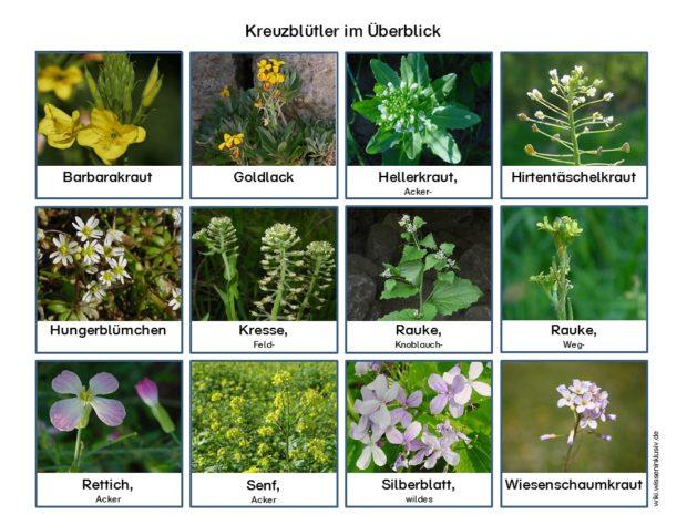 Kreuzblütler im Überblick, welche Pflanzen gehören dazu