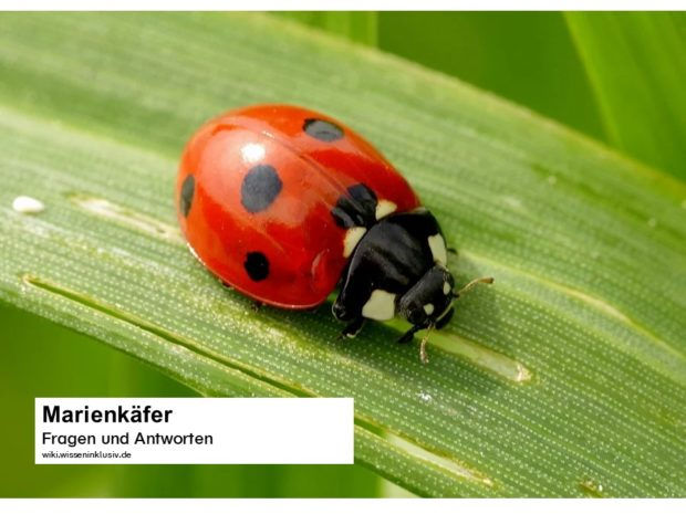 Marienkäfer – Wissenwertes