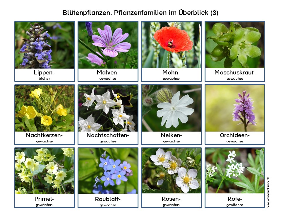 Pflanzenfamilien Blütenpflanzen zum Ausdrucken