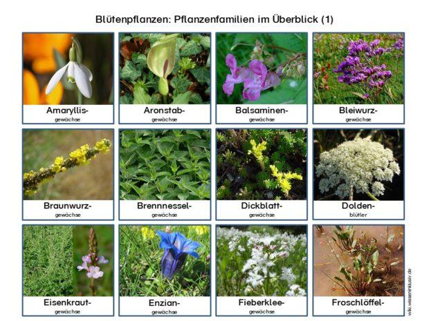 Pflanzenfamilien Blütenpflanzen im Überblick 1
