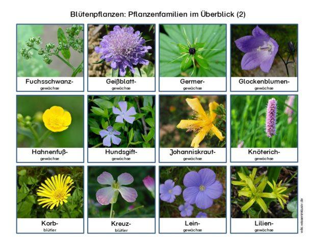 Pflanzenfamilien Blütenpflanzen im Überblick 2