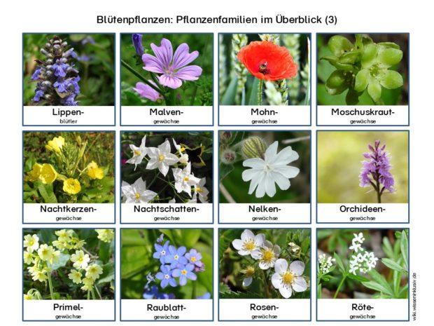Pflanzenfamilien Blütenpflanzen im Überblick 3