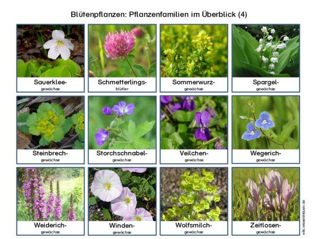 Pflanzenfamilien Blütenpflanzen im Überblick 4