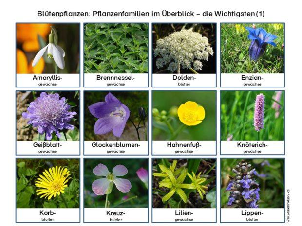 pflanzenfamilien-bluetenpflanzen-im-ueberblick-wichtigsten-1