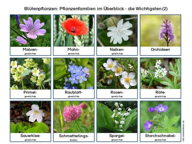 pflanzenfamilien-bluetenpflanzen-im-ueberblick-wichtigsten-2