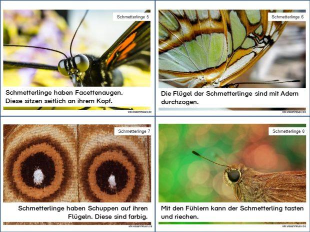 Wissenskarten zu Schmetterlingen, Karteikarten 5 bis 8