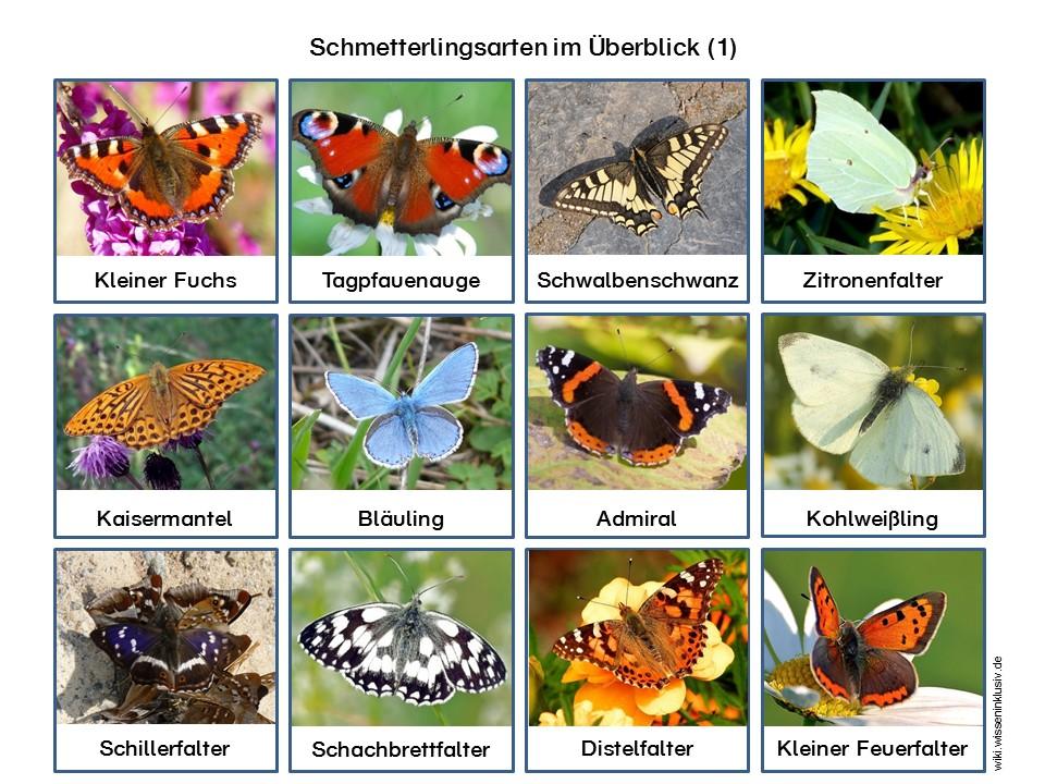 Schmetterlingsarten – Kartei