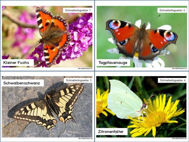 Schmetterlingsartenkartei Beispiel Karteikarten