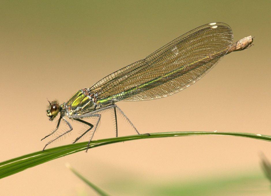Tiere der Wiese Libelle
