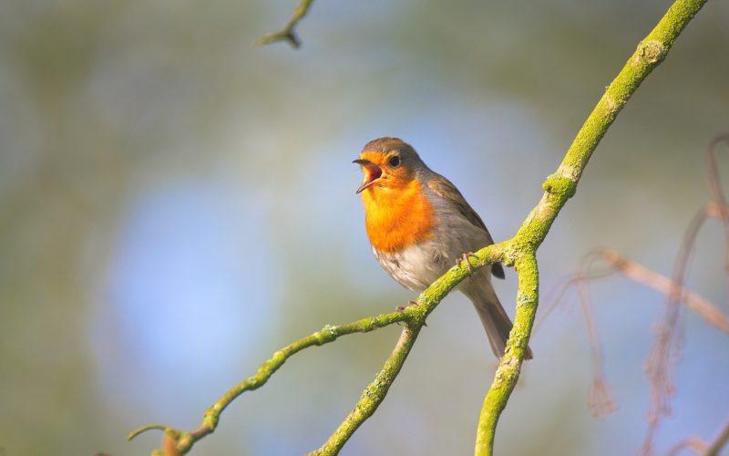 Tierstimmen, singendes Rotkehlchen auf einem Zweig